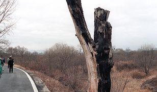 """Operacja """"Paul Bunyan"""". Świat na krawędzi wojny z powodu jednego drzewa"""