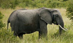 """Okrzyknęli słonia """"dziedzictwem narodowym"""""""