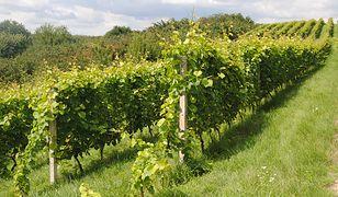 W Polsce od kilkunastu lat z powodzeniem rozwija się uprawa winorośli