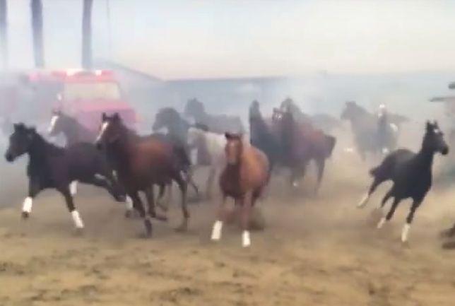 500 koni uciekało przed ogniem. Poruszające wideo