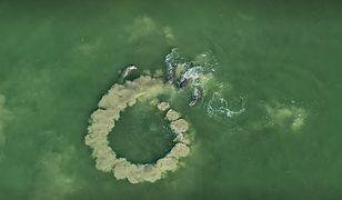 """""""Nasza Planeta"""": Delfiny robią tworzą zasadzkę, żeby złapać małe ofiary"""