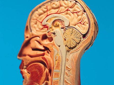 Hormony płciowe odmładzają mózg