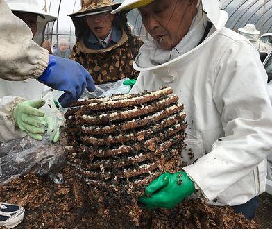 Japończycy jedzą osy. W wiosce Kushihara to prawdziwy rarytas