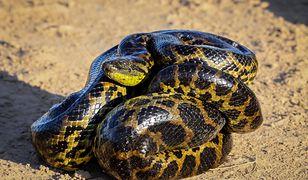 Niemcy - w Polsce pyton, w Niemczech anakonda. Węża widziano w jeziorze koło Düsseldorfu