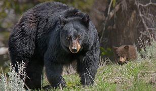 Tragedia w Parku Narodowym. Niedźwiedź zabił nastolatka