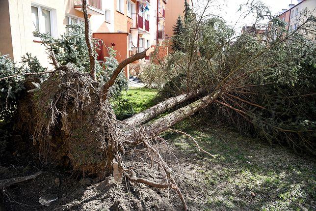 Wyrwane z korzeniami drzewo na osiedlu Żołnierzy I Armii WP w Sanoku