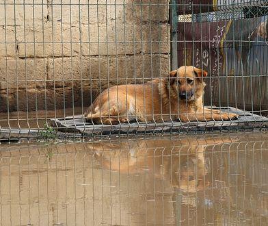 Sekłak. Ponad setka psów pod wodą