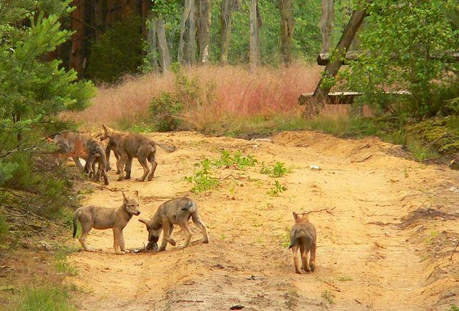 Leśnicy przyznają, że wilki w Dobrzejewicach obserwują od kilku lat