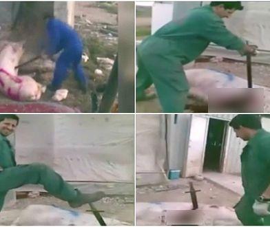 Zapadł wyrok w sprawie mężczyzn, którzy w okrutny sposób zabijali świnie