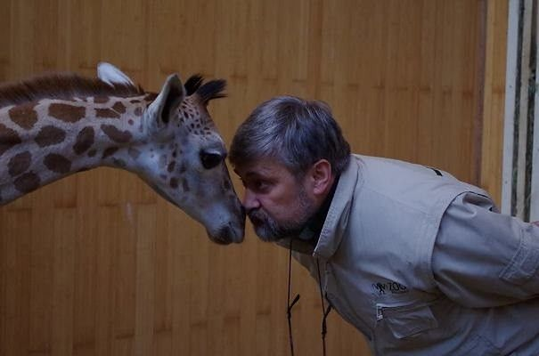 """Żyrafek powoli wraca do zdrowia. """"200 cm wzrostu i prawie 90 kg wagi"""""""