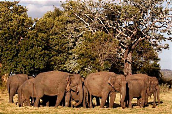 Pierwszy powszechny spis słoni na Sri Lance