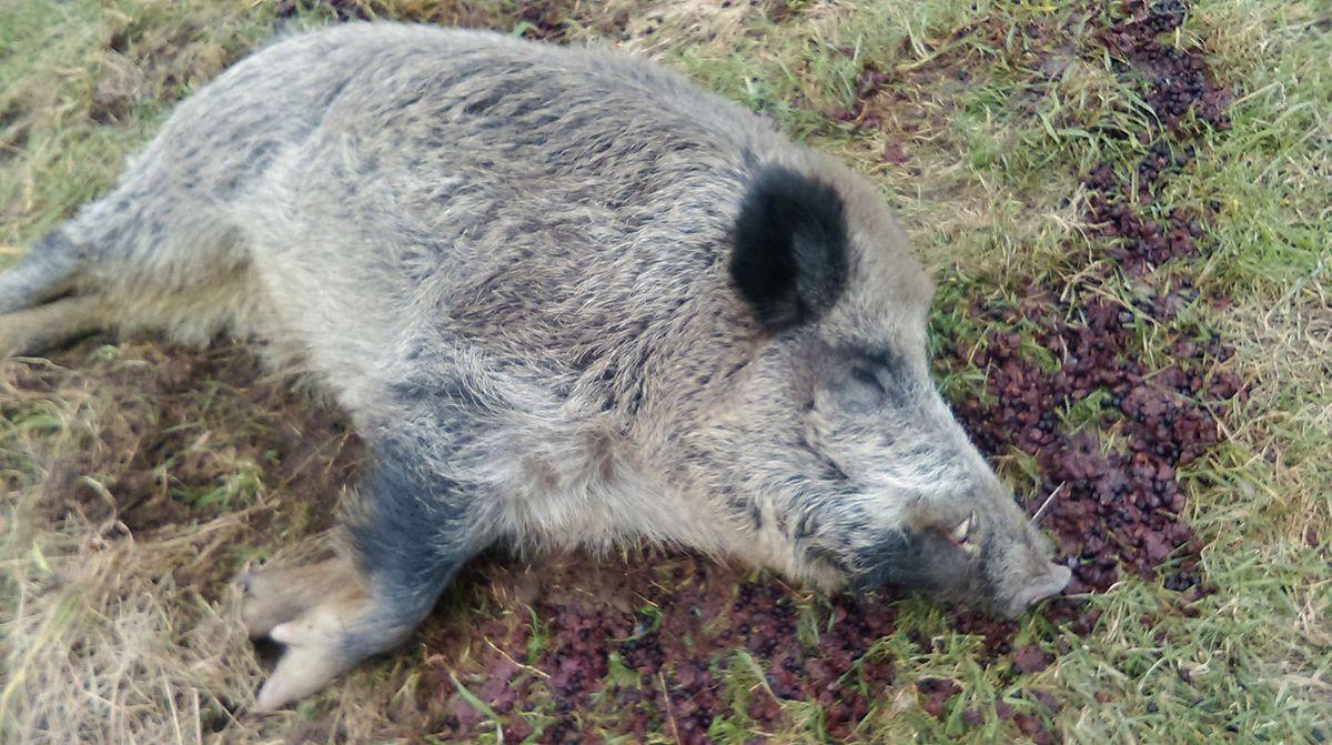 Dzik włamał się do rolnika, upił i usnął. Chrumek trzeźwiał w Kole
