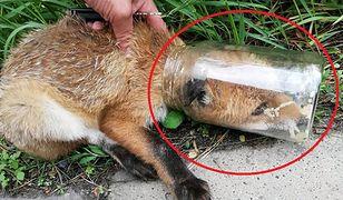 Małopolska. Czytelnik WP uratował młodego lisa