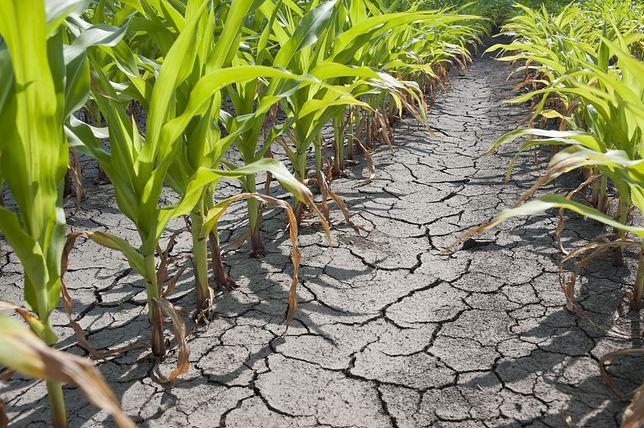 Susza na polu kukurydzy
