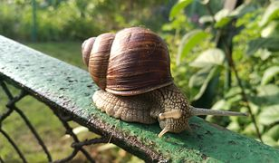 Niszczą rośliny i wywołują choroby. Jak zwalczyć ślimaki w ogrodzie?