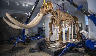 Szkielet mastodonta w Hessian Landesmuseum w Niemczech.