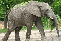 Węgry. Odcisk stopy słonia na aukcji