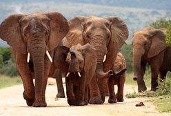 W Botswanie można będzie polować na słonie? Jest ich za dużo