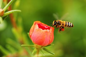 Pszczoła - gatunki, życie pszczół, miód, użądlenie, masowe ginięcie