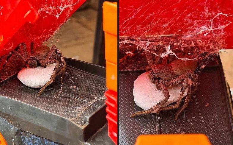Australia. Samica pająka i 200 małych. Przerażające gdzie uwiła kokon