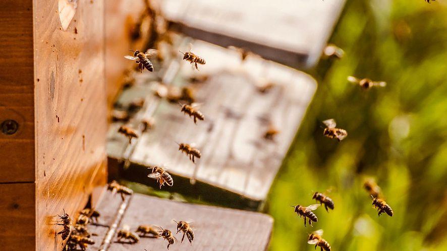 Polscy uczniowie stworzą darmową aplikację dla pszczelarzy (fot. Pixabay)
