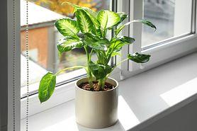 Difenbachia – charakterystyka, działanie rośliny, jak reagować na truciznę?
