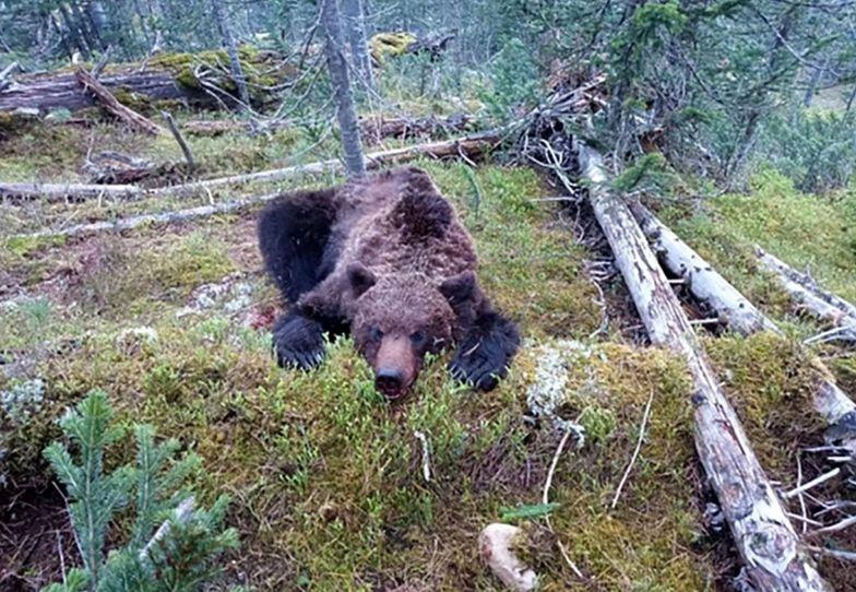 Makabra w parku narodowym. Niedźwiedź rozszarpał 16-latka