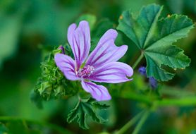 Napar z kwiatów ślazu - właściwości, przepis