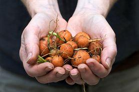 Co warto wiedzieć o żywności modyfikowanej genetycznie?