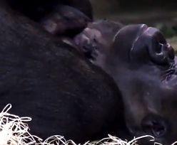 W berlińskim zoo czekali na to 16 lat. Niesamowite wieści
