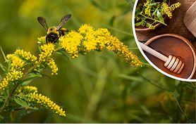 Lecznicza roślina śmiertelnym zagrożeniem dla pszczół. Pszczelarze ostrzegają przed nawłocią