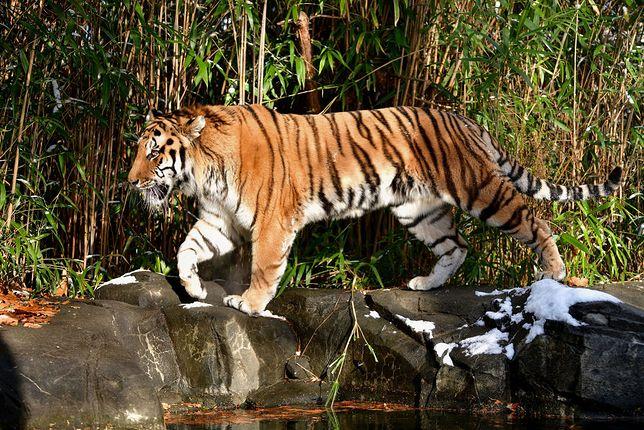 Koronawirus u zwierząt. Tygrys w zoo w Nowym Jorku zarażony