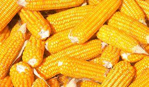 Kukurydza poprawia trawienie i jest zdrowa