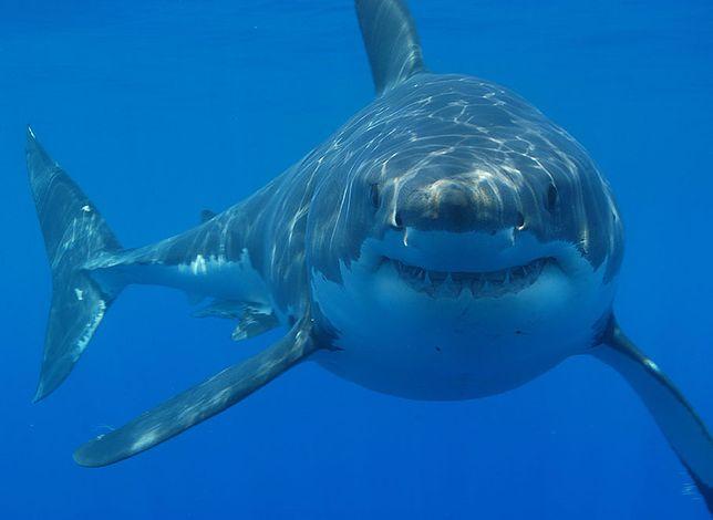 Żarłacz biały jest blisko spokrewniony z wymarłym megalodonem