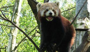 W zoo w Ostrawie znajduje się uwielbiana przez dzieci panda mała
