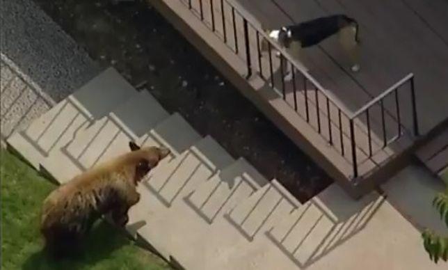 Los Angeles: nieoczekiwany rezultat starcia niedźwiedzia z psem