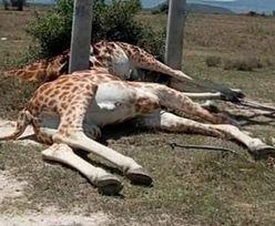 Prąd poraził żyrafy. Zwierzęta nie żyją