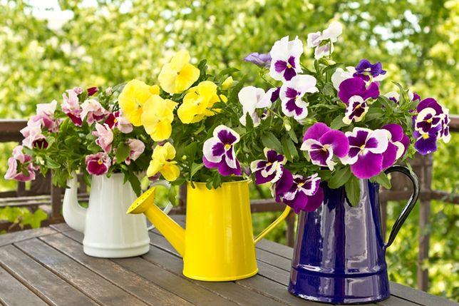 Balkonowy ogródek wystarczy podlewać raz na dobę, najlepiej późnym popołudniem.