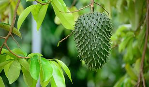 Guanabana lub graviola - nowy super owoc w naszych kuchniach!