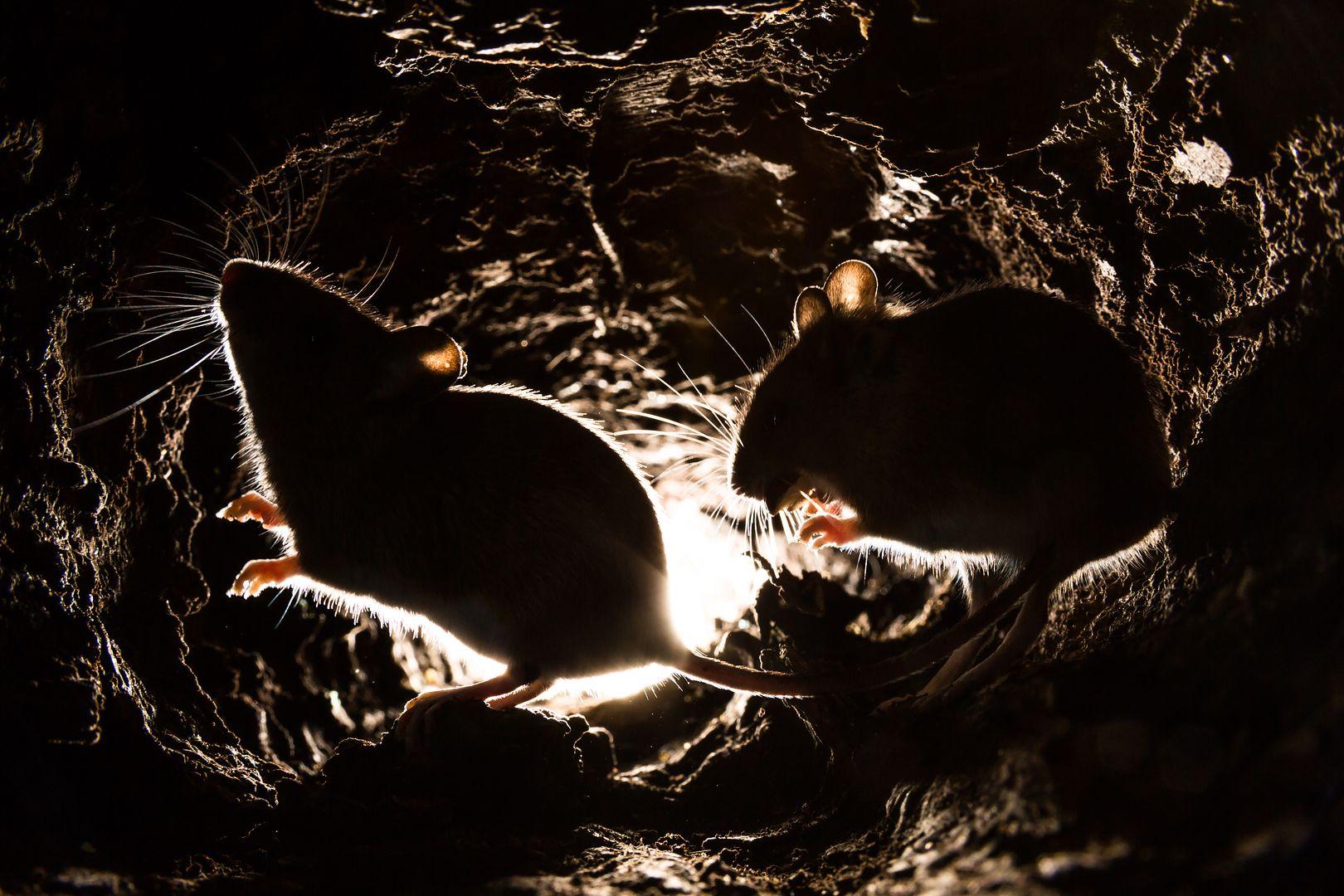 Szczury korzystają na życiu obok człowieka. Pokarmu mają pod dostatkiem