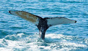 Tajlandia. Znalazł wielorybie wymiociny. Są warte krocie