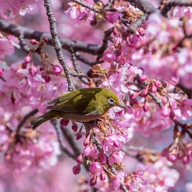 Japonia – zakwitły pierwsze wiśnie