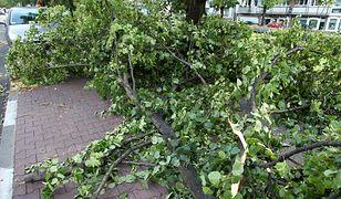 Wichura powaliła drzewo