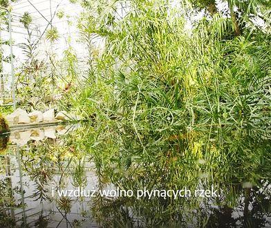 Rośliny pochłaniające zanieczyszczenia