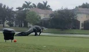 USA. Gigantyczny aligator na polu golfowym [Zobacz wideo]