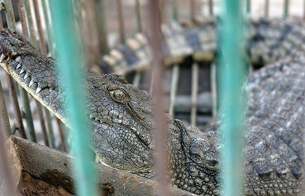 Krokodyl-uciekinier