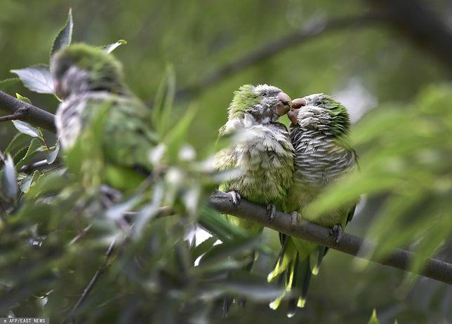Papugi mnichy opanowały drzewa w madryckich parkach