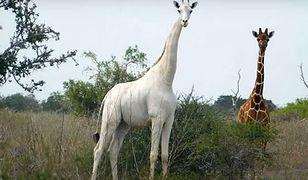 Ostatnia biała żyrafa na świecie otrzymała nadajnik GPS. Ma ją chronić przed kłusownikami