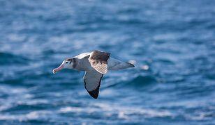 Albatrosy z nadajnikami na grzbiecie pomogą w znalezieniu nielegalnych łowisk