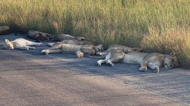 Lwy podczas drzemki na głównej drodze w Parku Narodowym Krugera